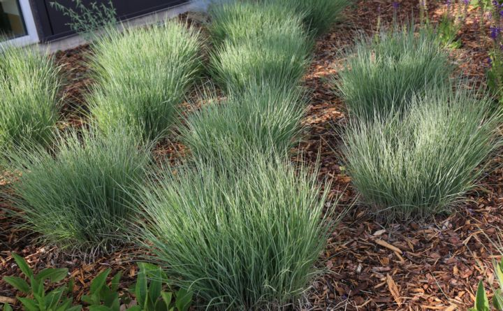 Ornamental Grasses Colorado Water efficient plants guide ornamental grasses workwithnaturefo