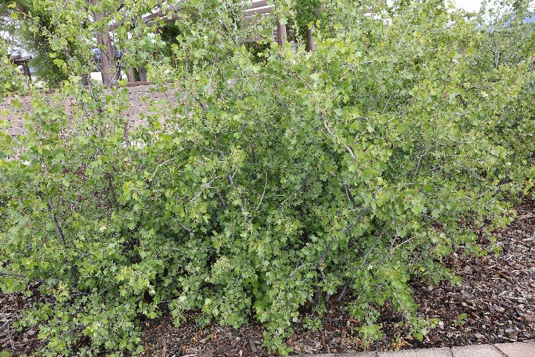 Water efficient plants guide shrub mightylinksfo